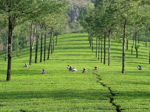 Estates and Sightseeing, Munnar